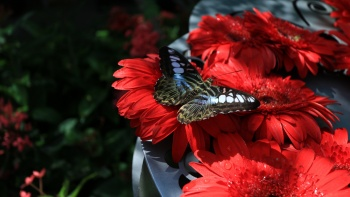 A butterfly amongst red flowers at Changi Airport's Butterfly Garden