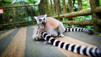 Ring-tailed lemurs in Singapore Zoo