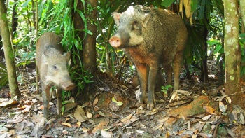 Wild boars at Chek Jawa